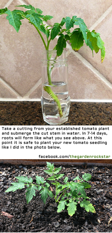 How to Regrow a Tomato