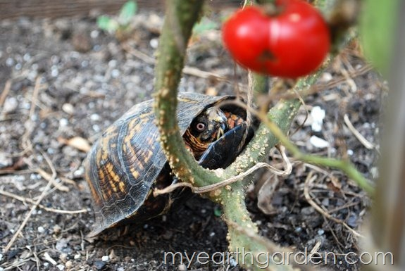 turtle and tomato 2