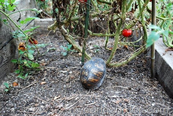 turtle and tomato